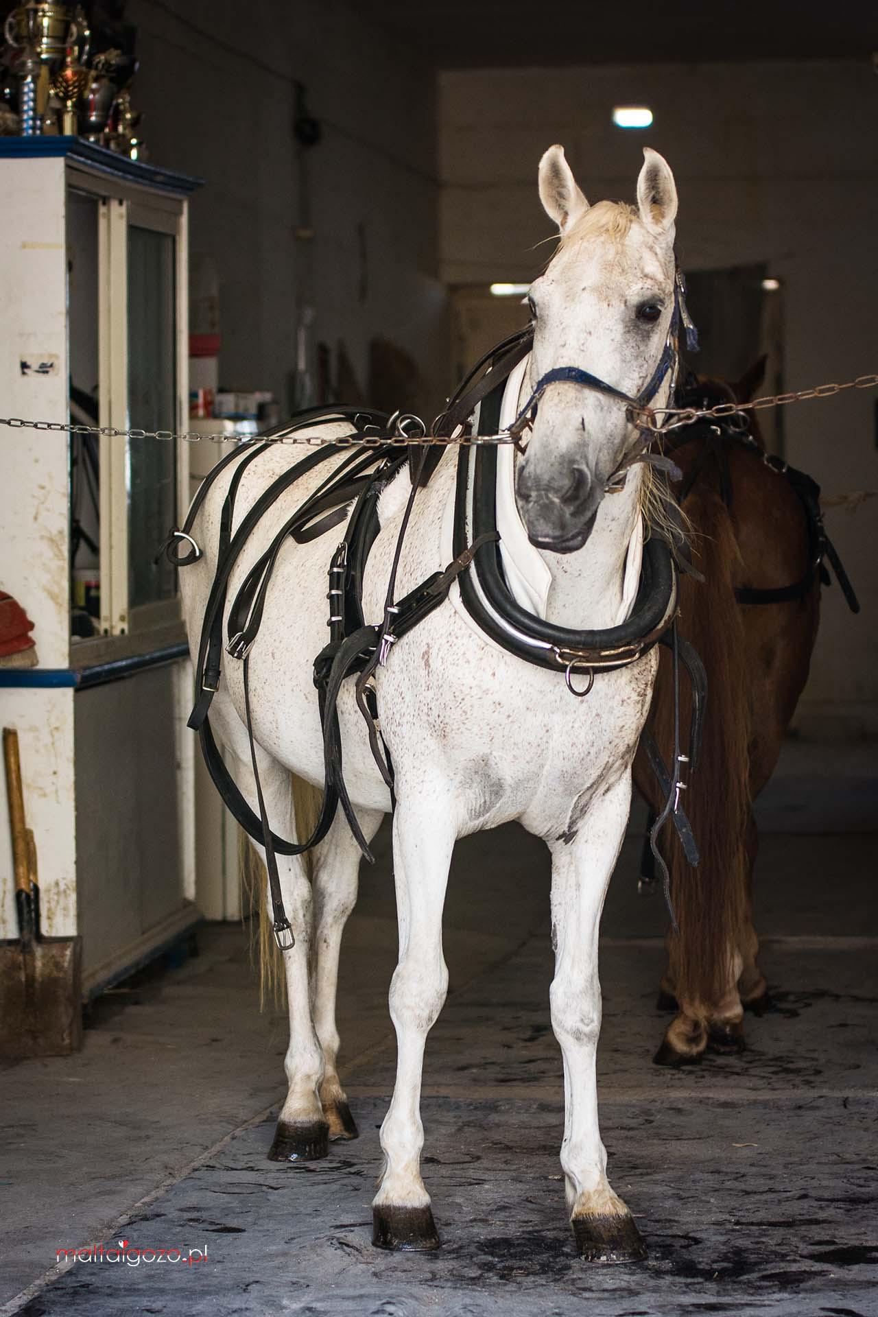 Gozo horses